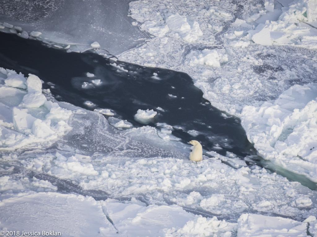Polar Bear Hunting - ID: 15741335 © Jessica Boklan