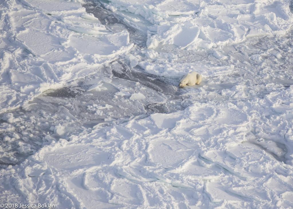 Polar Bear Hunting - ID: 15741336 © Jessica Boklan