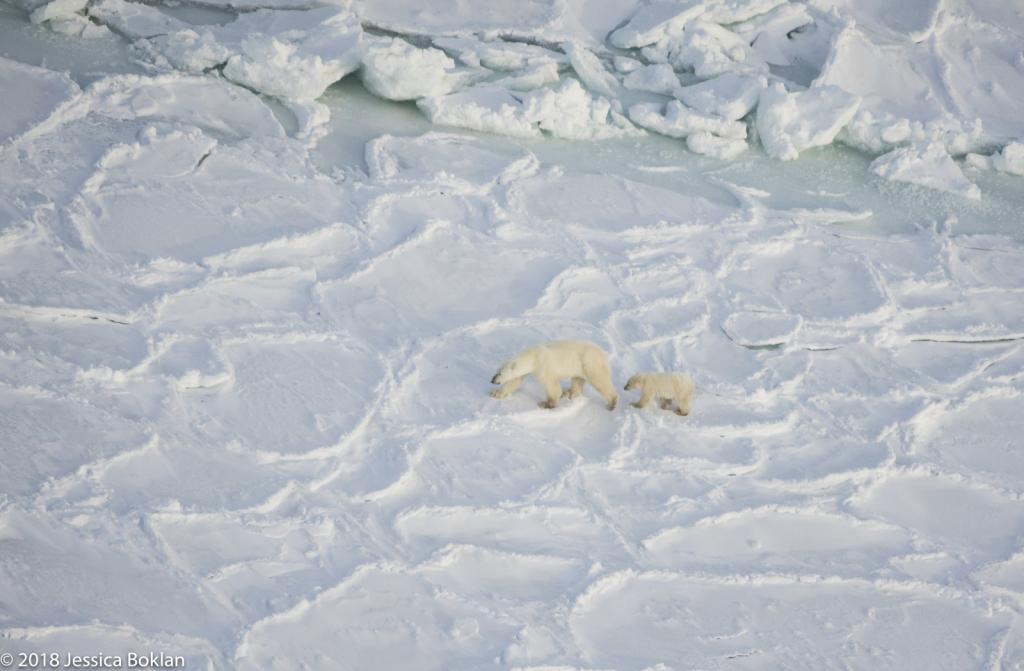 Polar Bear Mom with Cub - ID: 15741337 © Jessica Boklan