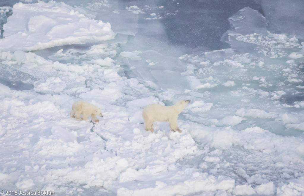 Polar Bear Mom with Cub - ID: 15741338 © Jessica Boklan