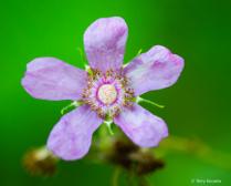Flowering Raspberry
