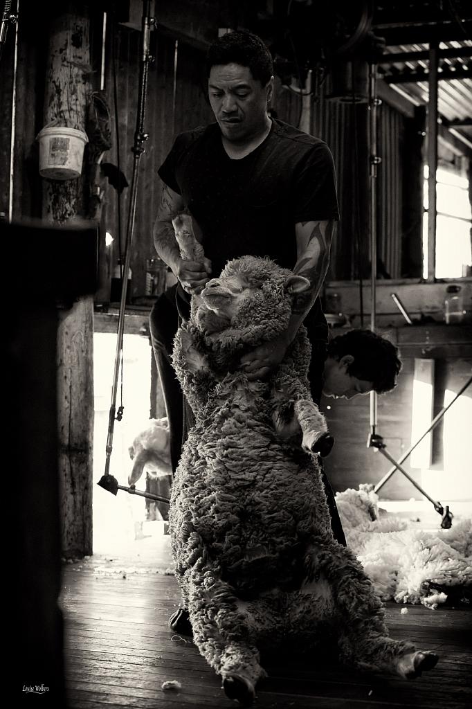 Shearer 2 - ID: 15741386 © Louise Wolbers