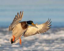 Mallard Wings
