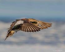 Widgeon Wings