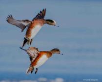 Widgeons Preped for Landing