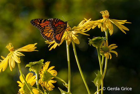 Monarchs Preparing for Their Long Migration
