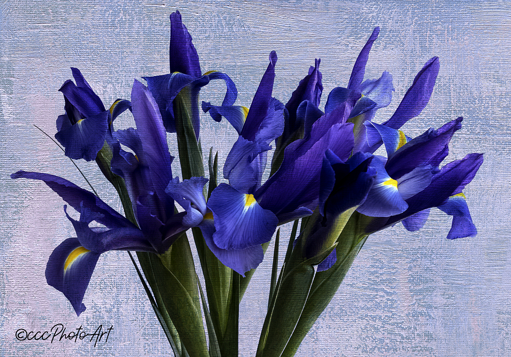 Clear Blue Iris - ID: 15742559 © Candice C. Calhoun