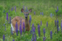 In the Lupins
