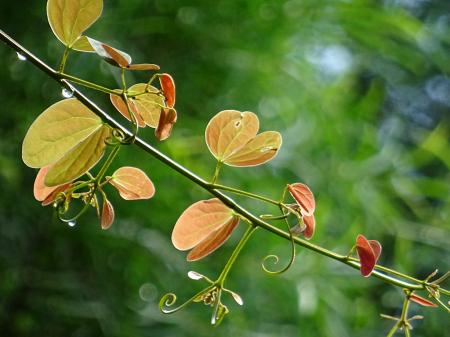 Bauhinia leaves-2