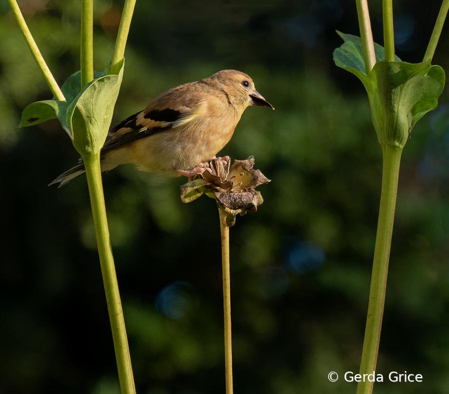 Sparrow on Flower Stalk