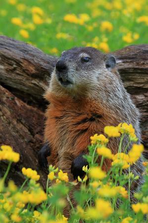 Hedgehog in Flowers