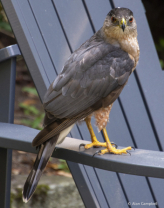 Coopers Hawk stopping for  Visit