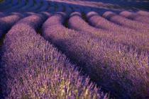 Undulating Lavender