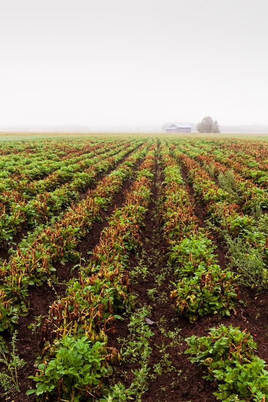 Rows Of Potato On A Misty Morning