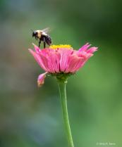 Bee on the Zinia