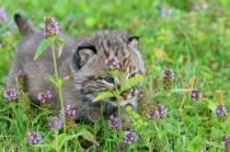 Lynx Baby Hiding