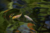 Whitish goldfishes swimming with reflections