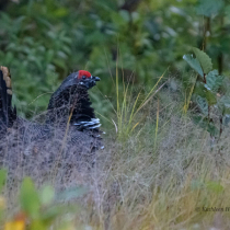 Spruce Grouse in Hiding!