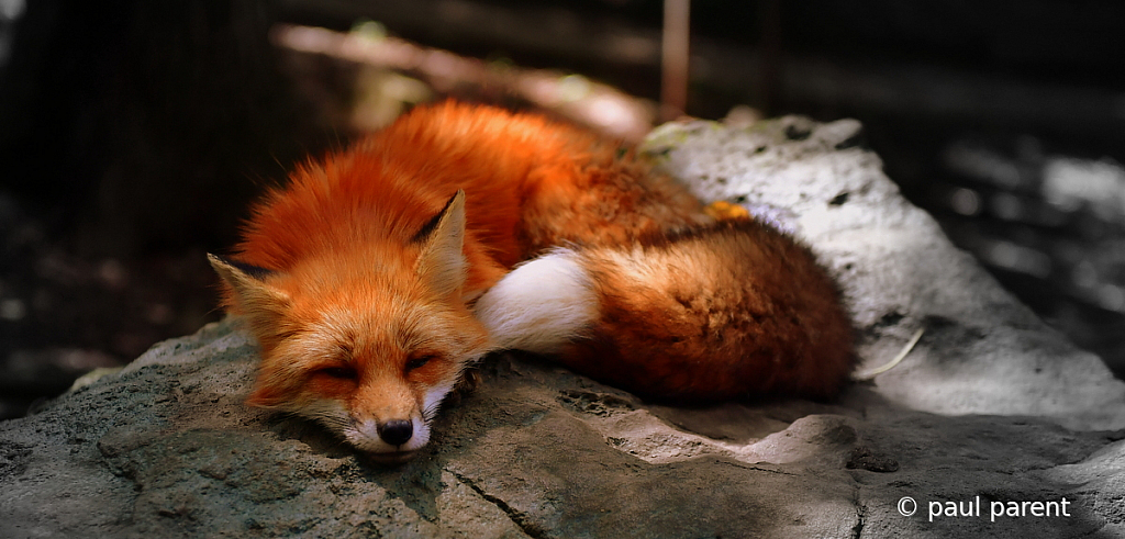 Sleeping Fox - ID: 15745969 © paul parent