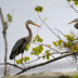 © Cynthia Underhill PhotoID# 15746010: Great Blue Heron - Building Nest