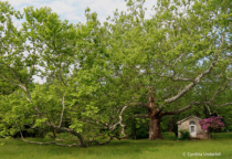 Sycamore at Pawling Farm - Spring Morning