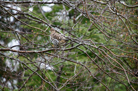 """Partridge """"Grouse"""" in a Tree!"""