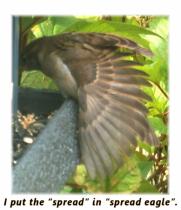 spread in spread eagle