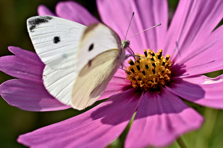 White Cabbage Butterfly