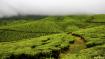 Tea Plantations a...