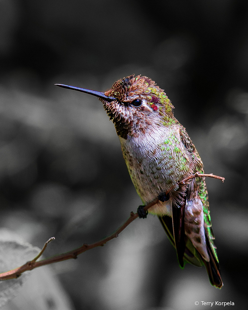 Anna's Hummingbird - ID: 15747711 © Terry Korpela