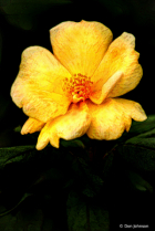 Artistic Small Yellow Rose 9-1-19 170