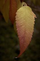 Autumn Leaves  8643