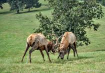 Rutting Elk at Dogwood Canyon