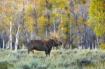 Teton Moose 0009