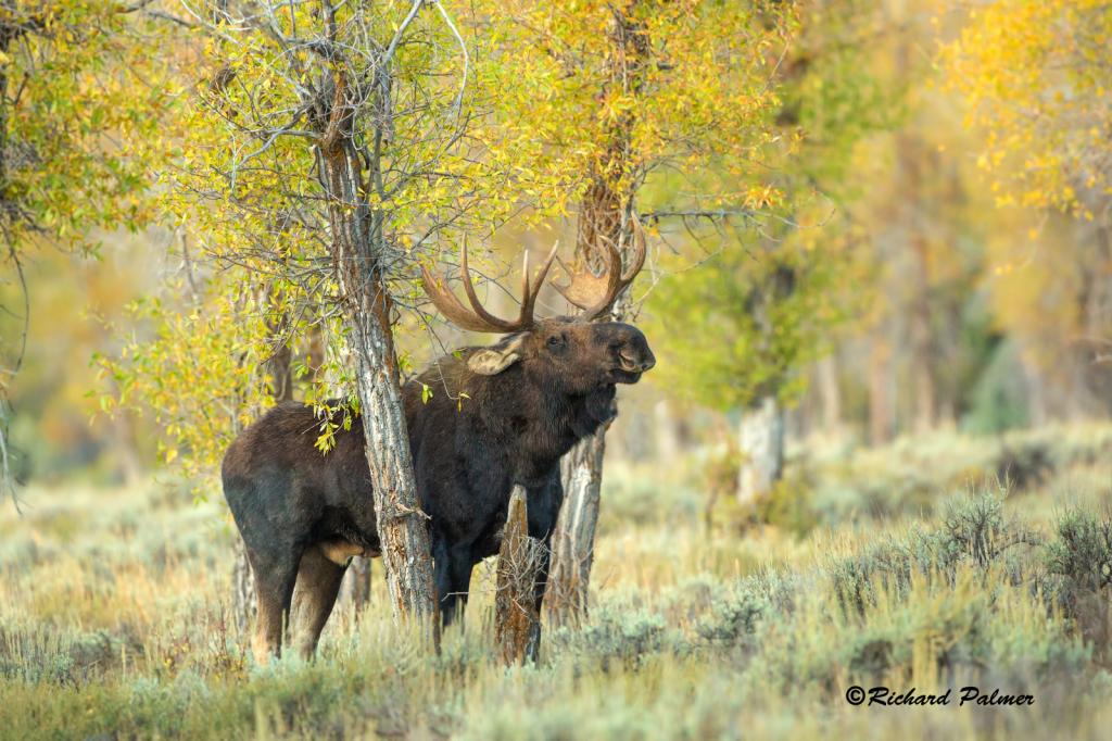 Teton Moose 0128