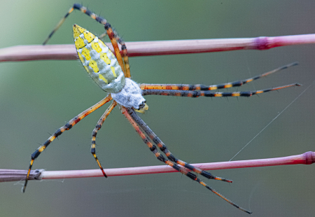Yellow Garden Spider on Parallel Bars