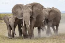Elephants Leaving Dust