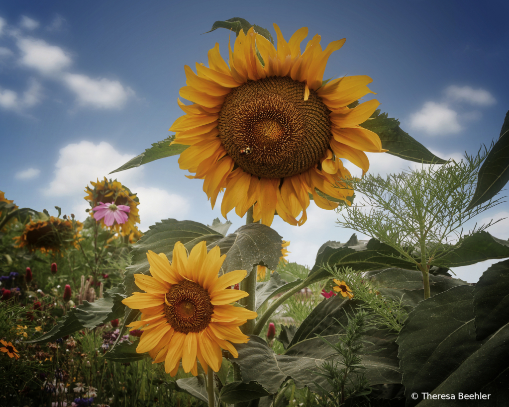 Flowers - English Garden with Sunflowers - ID: 15750929 © Theresa Beehler