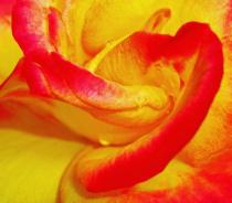 Rose petal composition.