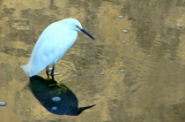 AN EGRET AND ITS SHADOW