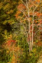 Fall Trees Along The Buffalo River
