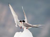 Arctic Tern Gift