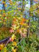 Black Oak Leaves ...