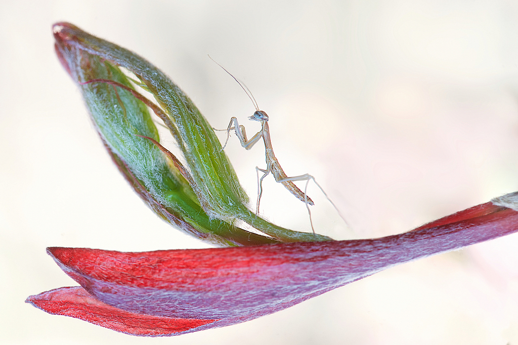 Baby Praying Mantis on Japanese Maple Blossom
