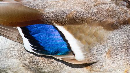 Close Up of a Male Mallard