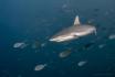 Gray Reef Shark, ...
