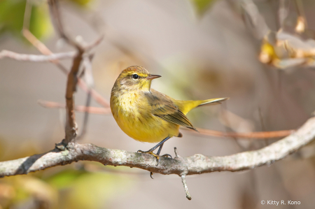 The Beautiful Palm Warbler