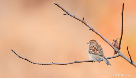 Little Field Sparrow