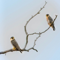 A Pair of Peregrine Falcons