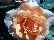 Peaches & Dewdrops